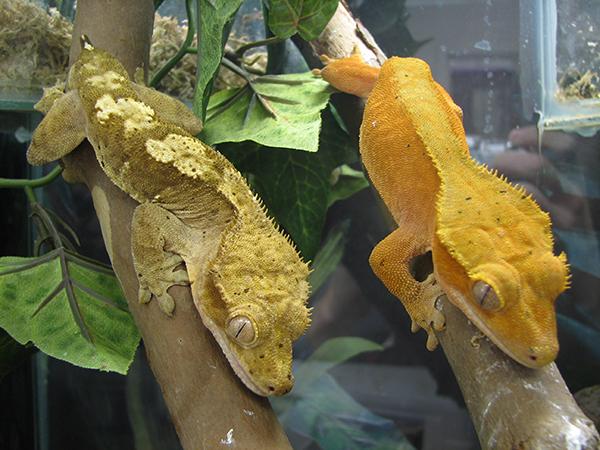Rhacodactylus Biology Natural History Husbandry
