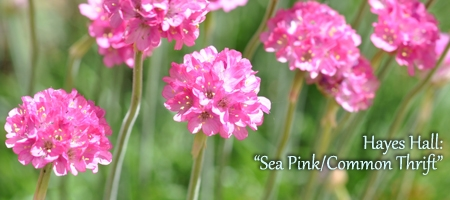 sea pink/common thrift