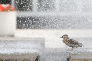 The Administration Building fountain attracts all kinds of campus visitors.